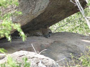 16 aug d Yala NP luipaard