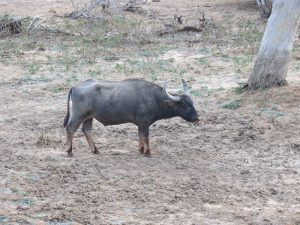 16 aug h Yala NP buffel